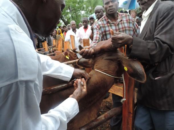 ecf-vaccination-in-kisumu
