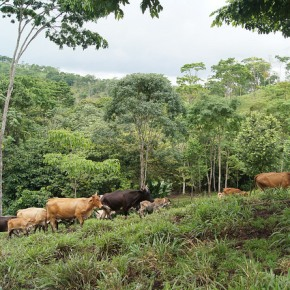 Improved cattle feeding holds the key to dairy sector growth in Nicaragua