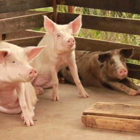 Addressing Uganda's pig value chain constraints, the PigSmart way