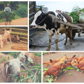 Research topic in Frontiers to consolidate findings on delivery of livestock inputs and services in low- and middle-income countries